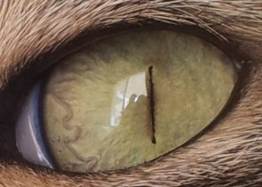 Worms In Cats Eyes Graphic Picture In Post 5 Thecatsite