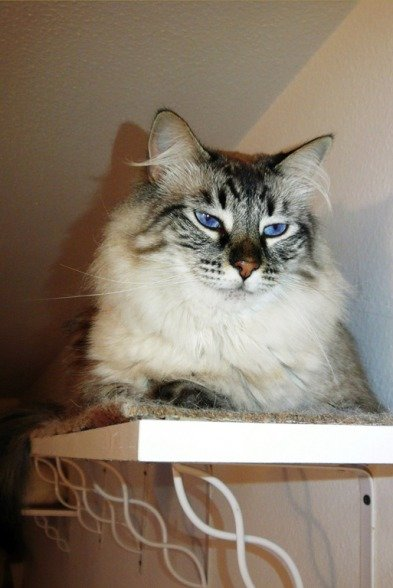 What large cat tree/tower to get for older cats? | TheCatSite